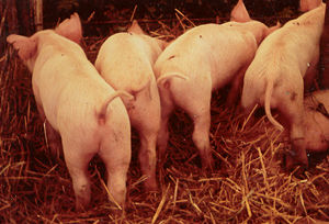Ivy Hill Farm piglets